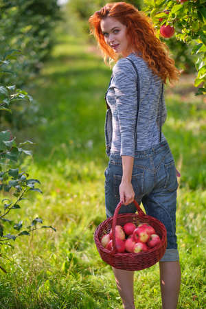 Beautiful girl with red hair collects apples in a large apple orchard and puts in a basket.