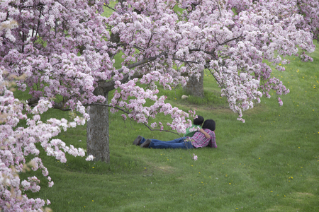masses: Cherry tree in full bloom with masses of pink flowers - May - Ontario
