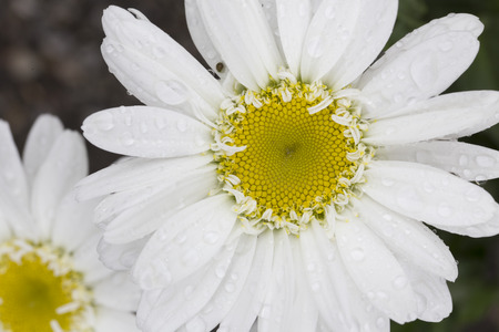 shasta daisy: Macro of Leucanthemum  superbum - July - Ontario Stock Photo