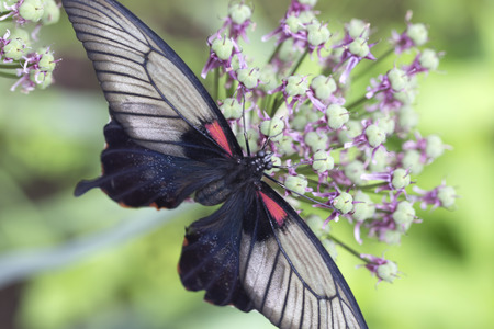 allium flower: Black white and red butterfly on allium flower - Papilio xuthus - Asian Swallowtail
