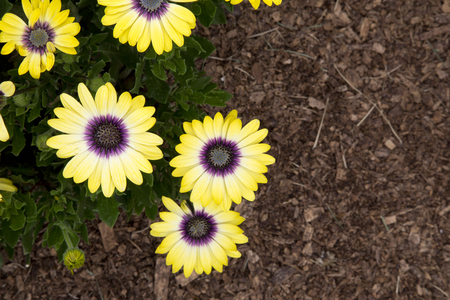 Yellow flowers of plant in mulch - Osteospermum 'Blue-Eyed Beauty' - Cape Daisy - August - Ontario