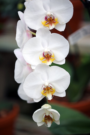 inflorescence: Orchid Inflorescence Stock Photo