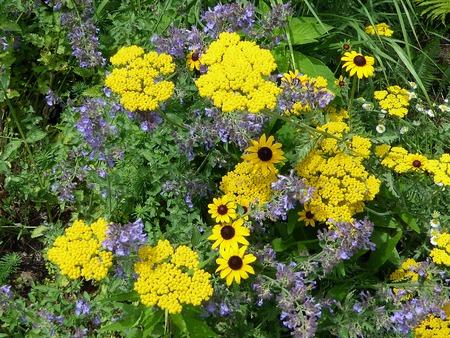 yarrow: Flower Yarrow Stock Photo