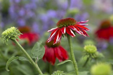 하이브리드 Coneflower, Echinacea hybrida, Salsa Red