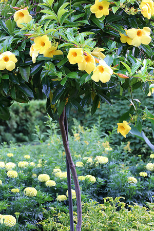 Allamanda Tree with Marigold