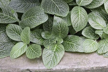 acanthaceae: Plant - Mosaic Plant Stock Photo