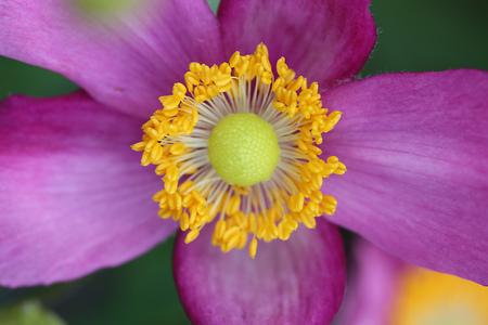 serenade: Anemone Flower - Serenade Stock Photo