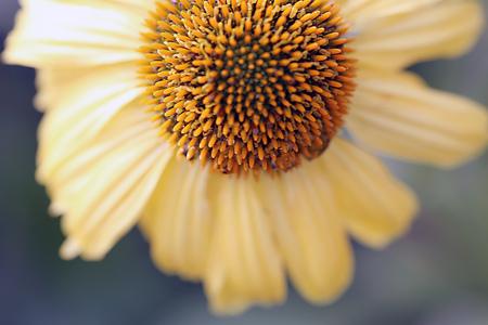 daydream: Echinacea - Daydream