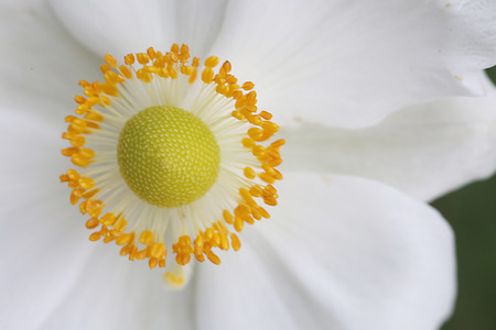 anemone flower: Japanese Anemone Flower Stock Photo