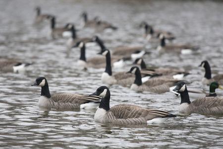 shorebird: Canada Geese