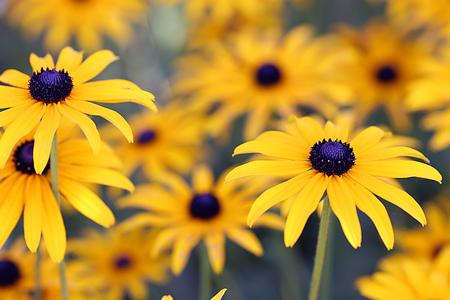 eyeing: Rudbeckia Flowers