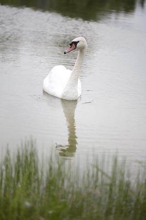 birdwatcher: Single Swan on Pond Stock Photo