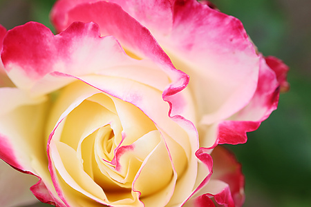 Hybrid Tea Rose - Double Delight - Andeli - Garden Party