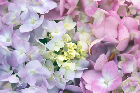 수국 꽃 스톡 콘텐츠