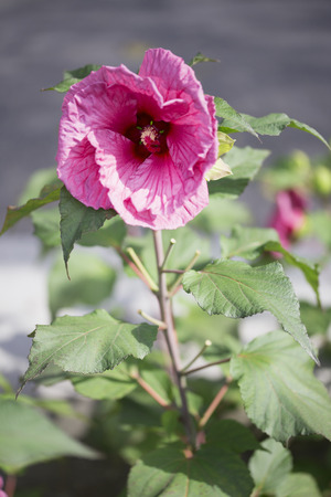 Flower - Rose Mallow - Plum Crazy