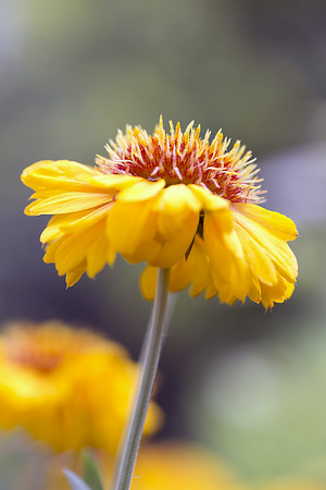 Flower - Blanket Flower - Gaillardia x grandiflora - Arizona Apricot Stok Fotoğraf