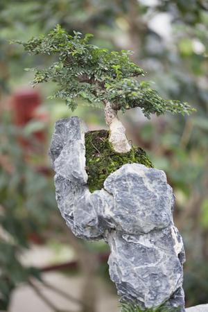 Bonsai - Elm chino Foto de archivo - 44892923