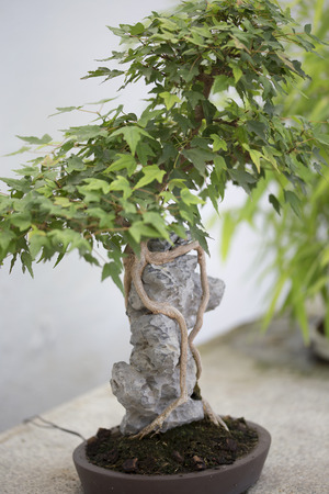 acer: Bonsai - Trident Maple Stock Photo