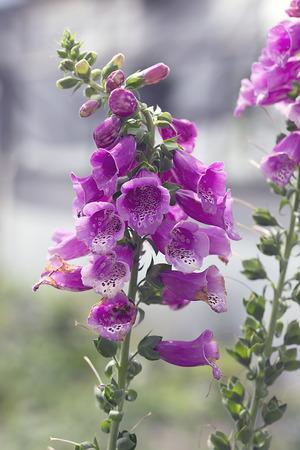 canterbury: Flower - Canterbury Bells