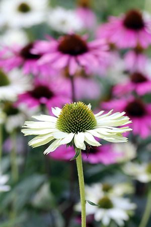 shasta daisy: Shasta Daisy and Coneflower