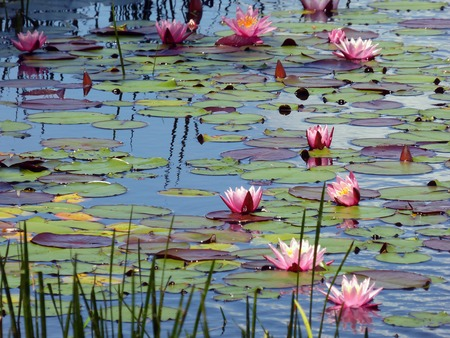 lilypad: Pond with water lilies