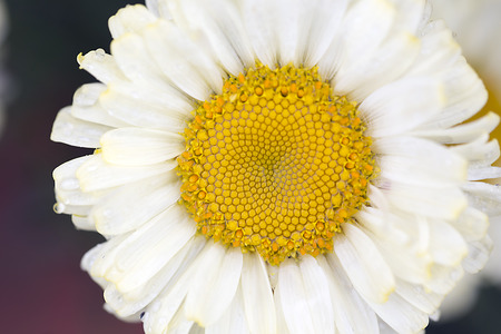 shasta daisy: Single Shasta Daisy Stock Photo