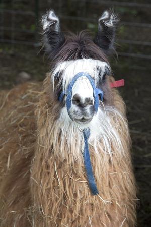 Animal - Lama Фото со стока