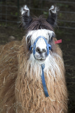 Animal - Lama Stockfoto