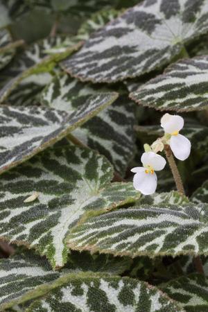jewell: Plant - Begonia - Silver Jewell