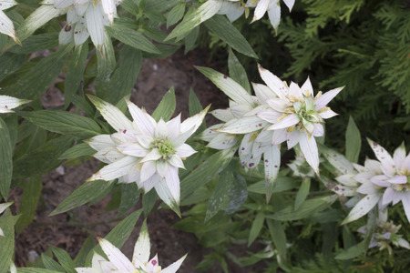 spotted: Flower - Spotted Beebalm