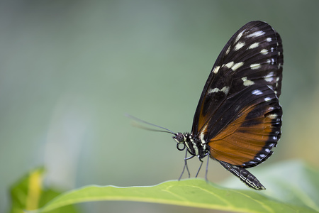 longwing: Tiger Longwing - Heliconius hecale