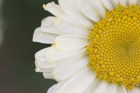 leucanthemum: Flower - Shasta Daisy - Leucanthemum x superbum - Real Dream