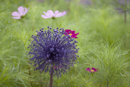 glower: Allium in flowerbed Stock Photo