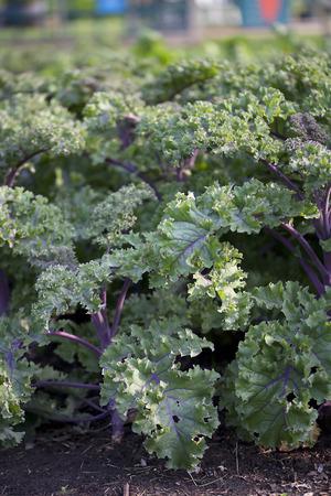 waterdrop: Vegetable - Ornamental Kale