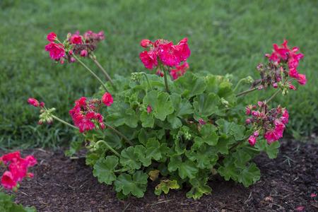 pelargonium: Flower - Pelargonium -Pariot - Papaya Stock Photo