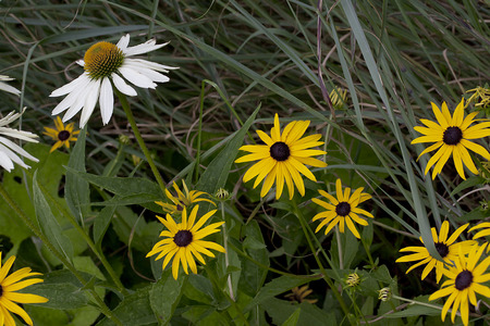 shasta daisy: Wildlfowers - Shasta Daisy and Black-Eyed Susan Stock Photo