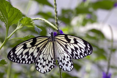 Rice Paper Butterfly -