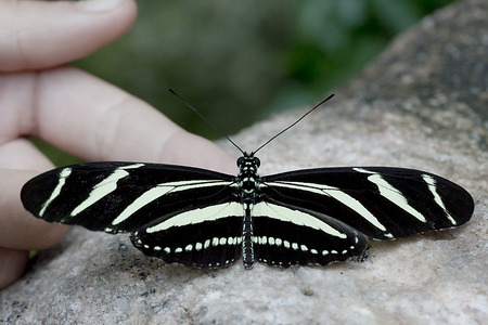 longwing: Zebra Longwing Butterfly - Heliconius charithonia Stock Photo
