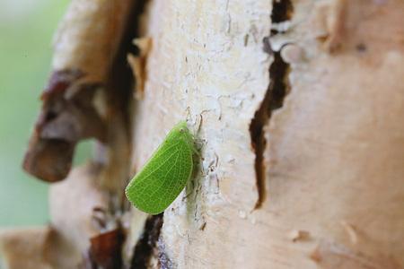 betula: Leaf insect on river birch - betula nigra Stock Photo