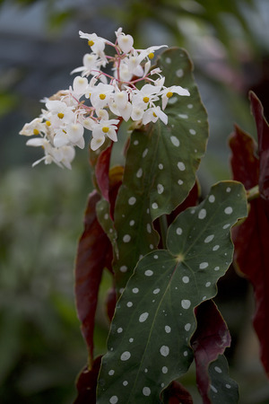 spotted flower: Flower - Spotted begonia - Begonia maculata