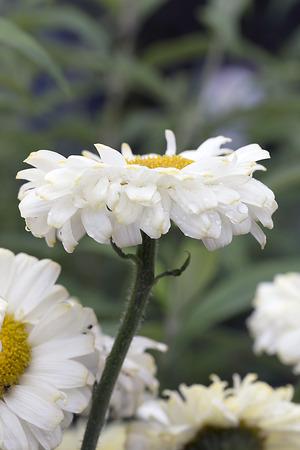 shasta daisy: Shasta Daisy