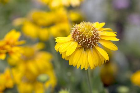 commotion: Flower - Blanket Flower - Gaillardia Commotion Moxie