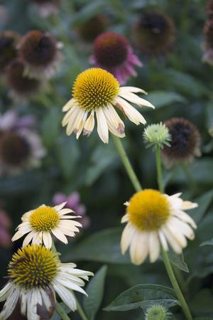 cheyenne: Flower - Echinacea - Cheyenne Spirit