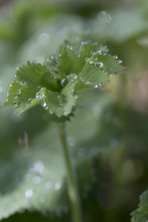 Plant - Lady's Mantle - Alchemilla mollis Banco de Imagens - 44988855