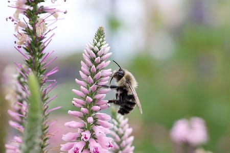 veronica flower: Bee on Speedwell