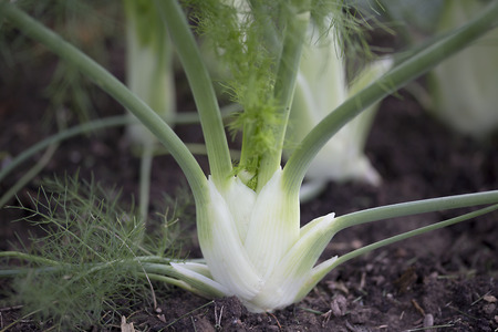 Vegetable - Fennel
