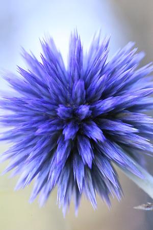 글로브 티슬 꽃