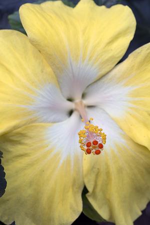 Closeup of hibiscus - sinensis