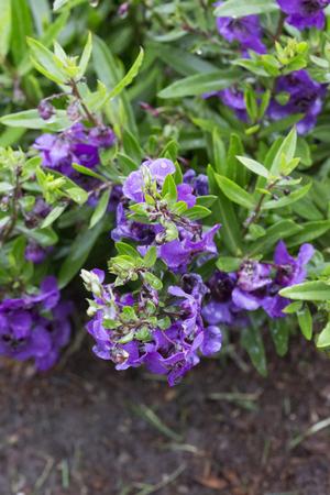archangel: Flower - Angelonia - Archangel - Dark Purple