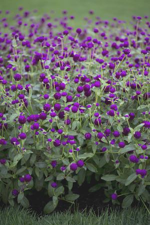 Flower - Gomphrena - Las Vegas - Purple Imagens